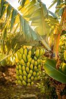Zweig mit Bananen