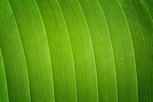 Bananenblatt Textur foto