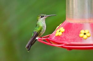 Brillanter Kolibri mit violetter Front am Feeder foto