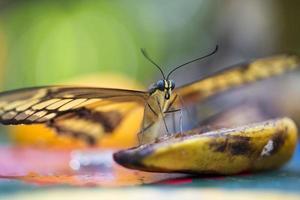 König Schwalbenschwanz Schmetterling foto
