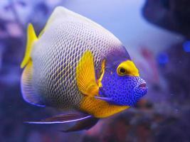 Kaiserfisch blau foto