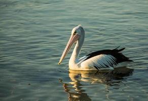 Pelikan schwimmen foto