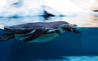 schwimmender peruanischer Pinguin foto