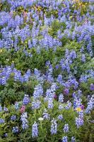 alpine Wildblumen