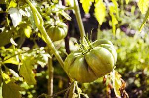 grüne Tomate. Landwirtschaftskonzept. foto