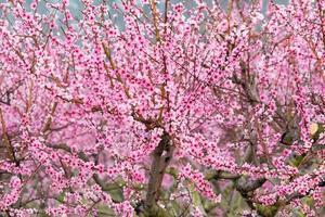 Pfirsichblüten foto