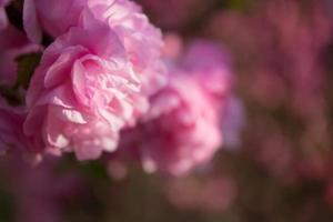 Pfirsichblüte foto
