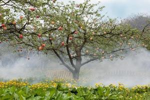 Pfirsiche auf Bäumen foto