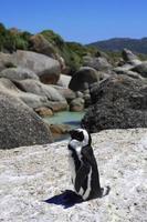 Pinguin an Felsbrocken, Kapstadt foto