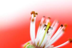 schöne subtile Farben eines Staubblatts, Makros, foto