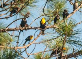 Kuhvögel und Amseln scharen sich zusammen foto