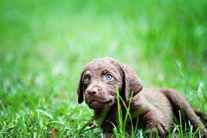 Welpe, der im Gras liegt foto