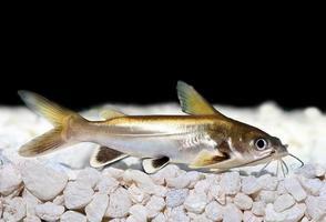 Silberspitzen-Hai-Wels Ariopsis Seemanni Silberspitzen foto