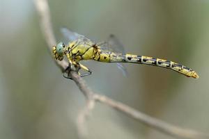Onychogomphus forcipatus, weiblich foto