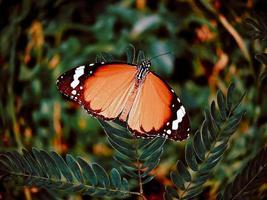 Danaid Eggfly weiblich, Hypolimnas misippus