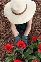 Gärtnerin, die rote Blumen pflanzt foto