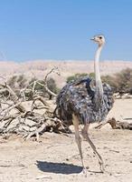 Weibchen des afrikanischen Straußes (struthio camelus)