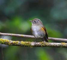 brauner Vogel, weiblicher Himalaya-Bluetail (Tarsiger Rufilatus)