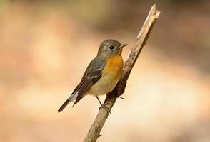 weiblicher Mugimaki-Fliegenfänger (Ficedula Mugimaki)