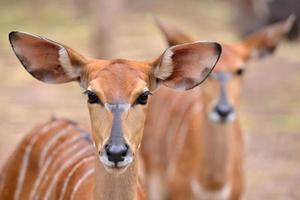 Nahaufnahme des weiblichen Nyala-Kopfes foto