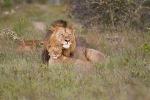Löwenvater und Jungtier foto