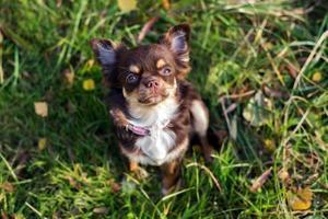 Chihuahua Welpe schaut auf