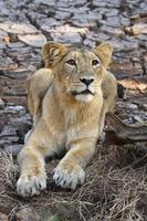 asiatische Löwin foto