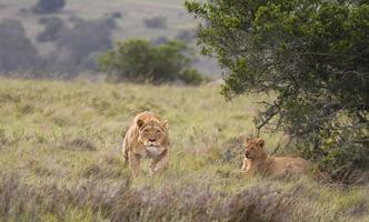 Löwin pirscht sich an foto