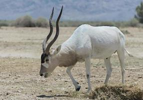 Antilopen-Addax im israelischen Naturschutzgebiet foto