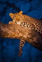ruhender Leopard foto