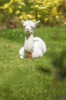 Baby Lama, das sich nach dem Füttern hinlegt foto