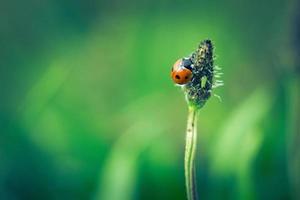 Weinlesefoto des Marienkäfers auf Gras foto