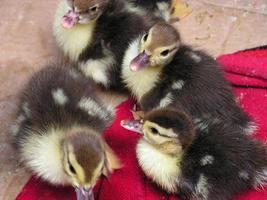kleine Enten, die auf einem roten Teppich liegen