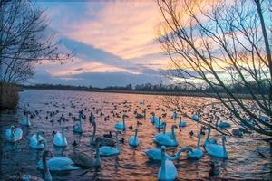 Schwäne und Enten während des Sonnenuntergangs foto