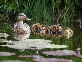 Mutter Ente mit ihren Entenküken foto