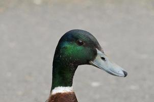schöne Ente sitzt in der Nähe des Teiches foto