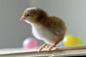Osterküken foto