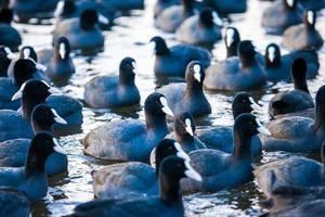 Herde von Blässhühnern (Fulica atra) auf zugefrorenem See foto