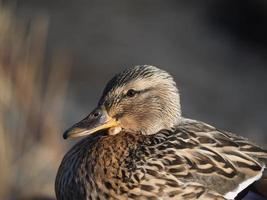 Ente auf dem See foto