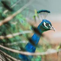 Porträt des schönen Pfaus mit Federn heraus foto
