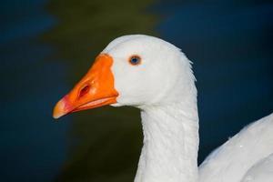 weiße Ente