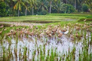 Enten auf Reisfeldern in der Nähe von Ubud, Bali, Indonesien