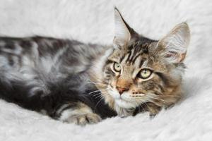 schwarze silberne Tabby-Maine-Kegelkatze, die auf weißem Hintergrund aufwirft foto
