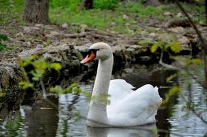 schöner Schwan, der in einem Teich schwimmt foto