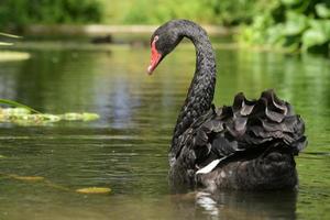 schwarzer Schwan, Cygnus atratus foto
