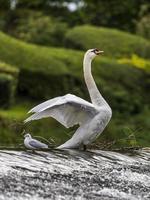 Höckerschwan [Cygnus Olor] und Möwe [Laridae] foto