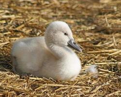 entzückender Baby-Höckerschwan nur 3 Tage alt foto