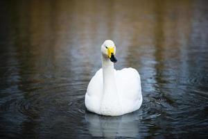 weißer Singschwan, der am See in London schwimmt foto