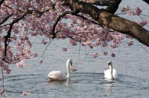 zwei weiße Schwäne unter blühendem Baum foto