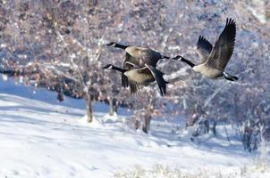 Drei Kanadagänse fliegen über einen Wintersee foto